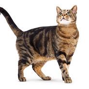 Cat Of America