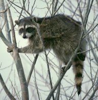 The Only Raccoon